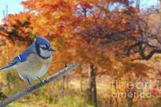 Blue Jay in Osage County by Janette Boyd