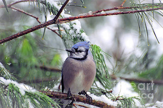 Blue Jay in the Snow - 2 by Kerri Farley