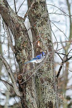 Blue Jay in Winter by Linda Joyce