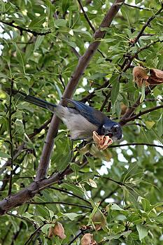 Blue Jay by Jennifer Muller