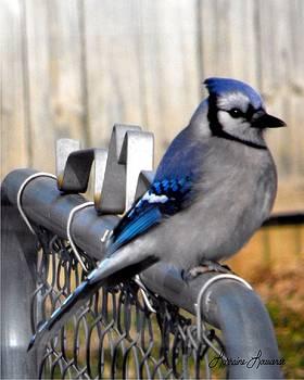 Blue Jay by Lorraine Louwerse