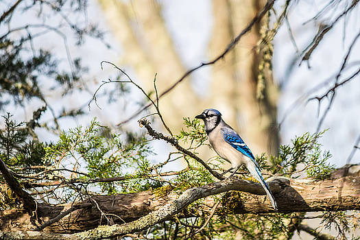 Lisa Lemmons-Powers - Blue Jay on a Branch