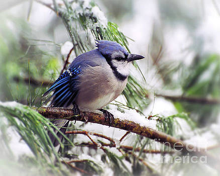 Blue Jay on Icy Branches by Kerri Farley