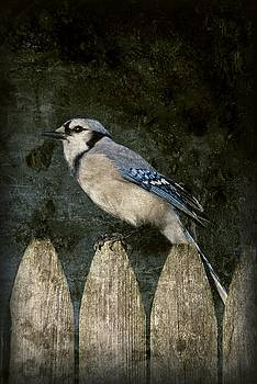 Blue Jay On The Fence by Angie Tirado