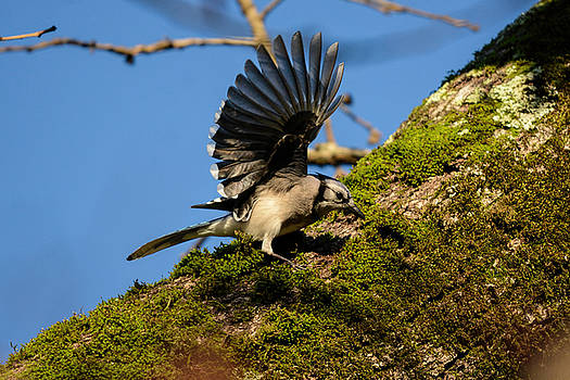 Blue Jay On The Moss 122520150429 by WildBird Photographs