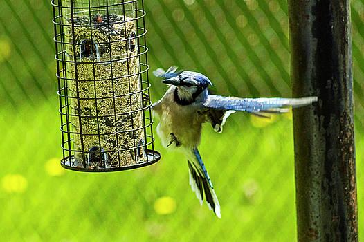 Blue Jay by Tim Buisman
