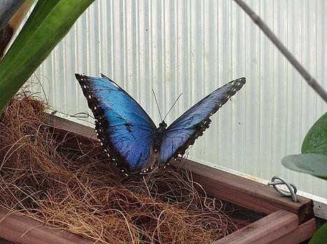 Blue Life Butterfly by Mozelle Beigel Martin