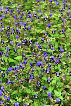 Svetlana Sewell - Blue Little Flowers