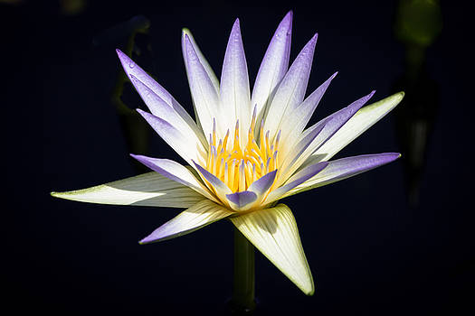 Blue Lotus Water Lily by Mark Michel