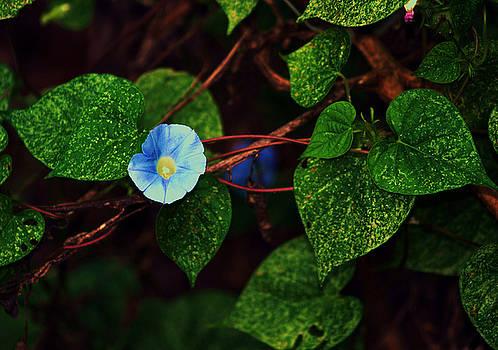 Blue Morning Glory by Ruben  Flanagan