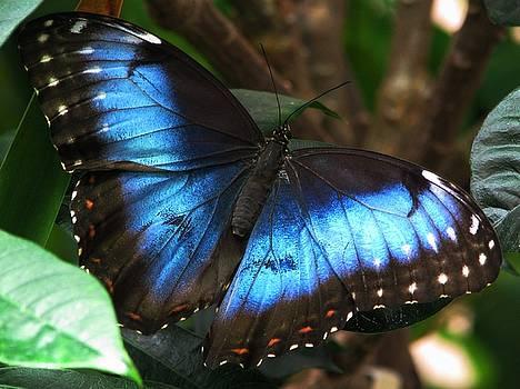 Blue Morpho by Angela Davies