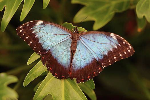 Blue morpho butterfly from above by Paul Cowan