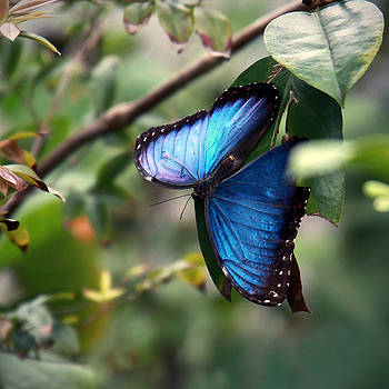 Blue Morpho Butterfly by Glennis Siverson