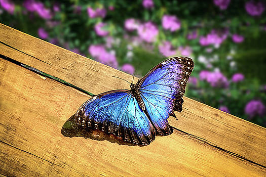 Blue Morpho Butterfly on a wooden board by Tim Abeln