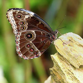 Blue morpho butterfly by Paul Cowan