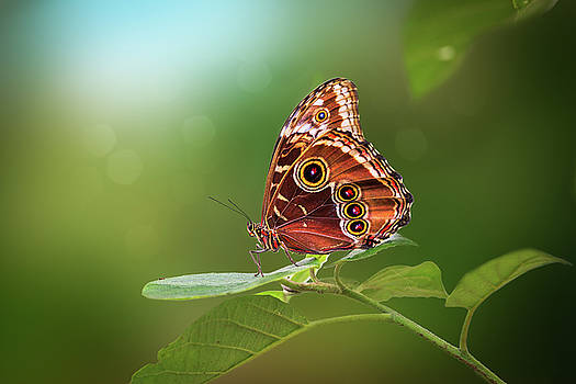 Blue Morpho Butterfly by Tim Abeln