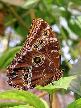 Blue Morpho by Ecuador Images
