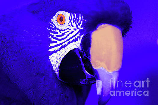 Blue Parrot  by Rich Collins