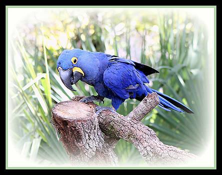 Blue Parrott by Donald Hill