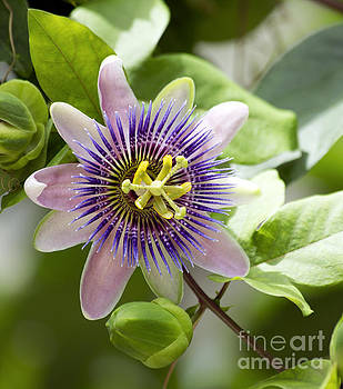 Blue Passion Flower #1 by Denise Woldring