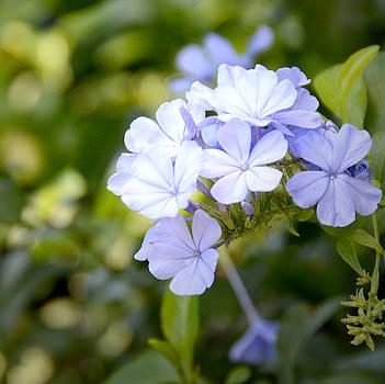 Blue Plumbago by Marites Reales