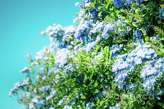 Blue Plumbago Maui Hawaii by Sharon Mau