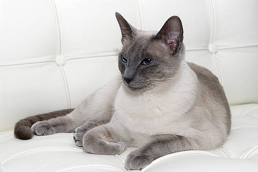 Reimar Gaertner - Blue Point siamese lounging on white leather
