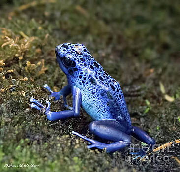 Blue Poison Dart Frog by Barbara McMahon
