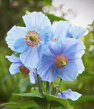Blue poppy by Garden Gate