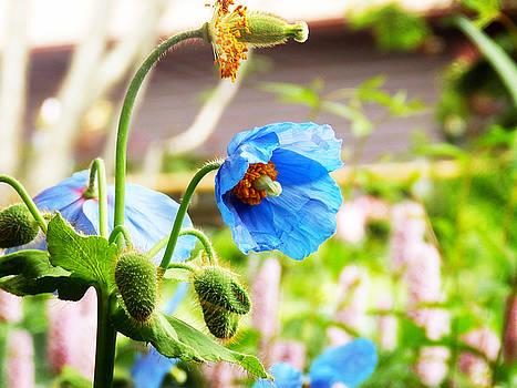 Blue Poppy by Zinvolle Art