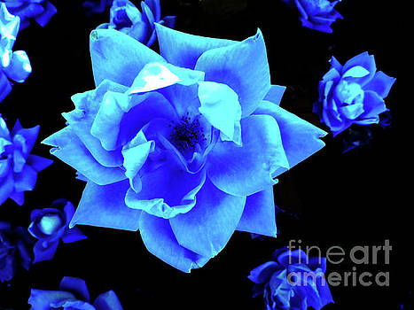 Blue Rose Field by Ron Tackett