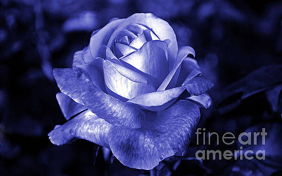Blue Rose by Frank Larkin