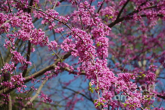 Blue skies and redbud in spring by R V James