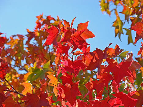 Baslee Troutman - BLUE SKY AUTUMN Art Prints Colorful Fall Tree Leaves Baslee