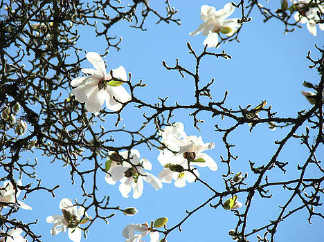 Baslee Troutman - Blue Sky Floral art White Magnolia Tree