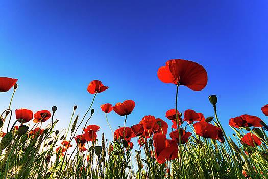 Scott Masterton - Blue Sky Poppies