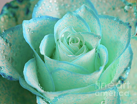 Blue Star Rose by Tracy Hall