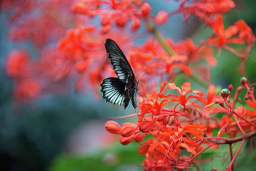 Blue Swallow Butterfly by Michael Bessler