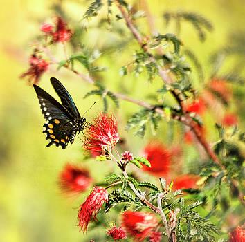 Saija Lehtonen - Blue Swallowtail on Fairy Duster