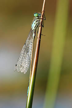Blue Tailed Damselfly by Claire Wilson