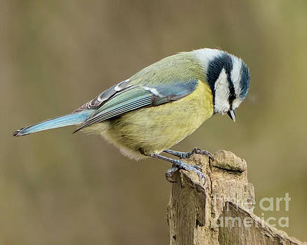 Blue Tit 2 by Baggieoldboy