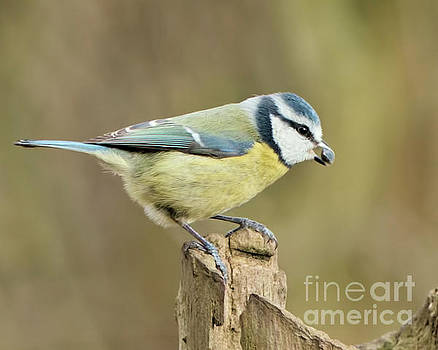 Blue Tit  by Baggieoldboy