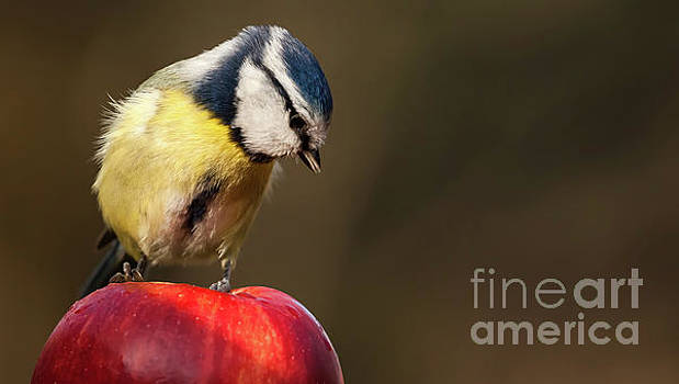 Simon Bratt Photography LRPS - Blue Tit Cyanistes caeruleus sat on a red apple looking down