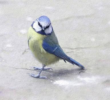 Blue Tit posing by Suesy Fulton