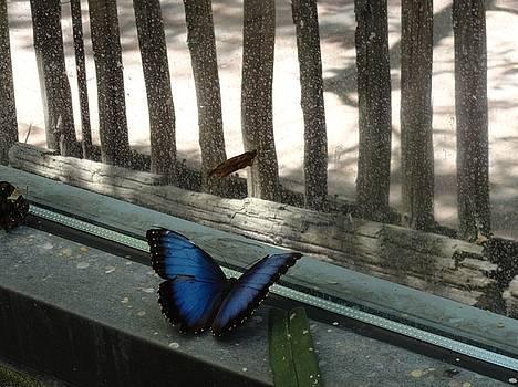Blue Butterfly Looking Out Window by Mozelle Beigel Martin
