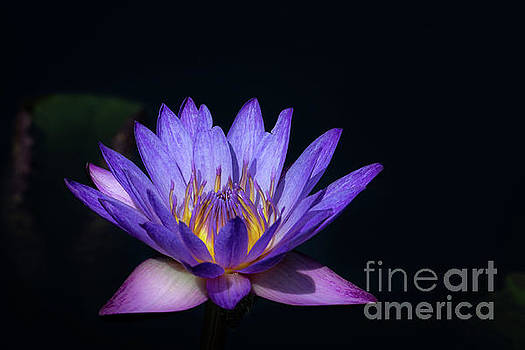 Blue Water Lily by Andrea Silies