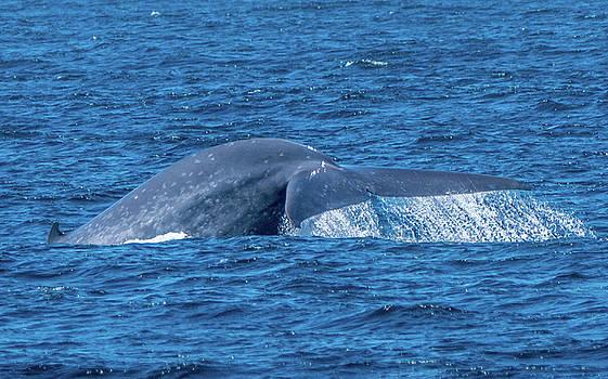 Randy Straka - Blue Whale Tail Flukes Monterey Bay 2