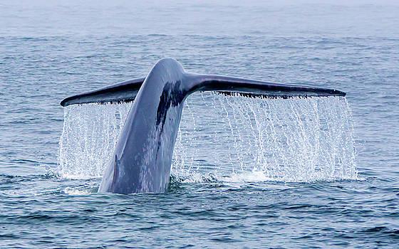 Randy Straka - Blue Whale Tail Flukes Monterey Bay 3