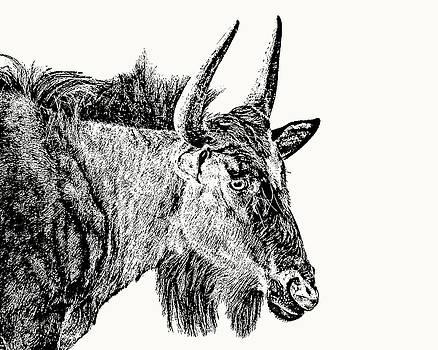 Blue Wildebeest Close-up by Scotch Macaskill