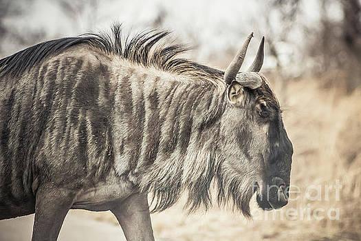 Blue Wildebeest by Petrus Bester